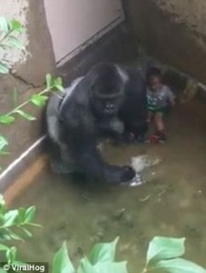 34C5933A00000578-3616453-Witnesses_said_the_gorilla_looked_like_he_was_trying_to_protect_-a-20_1464619685241